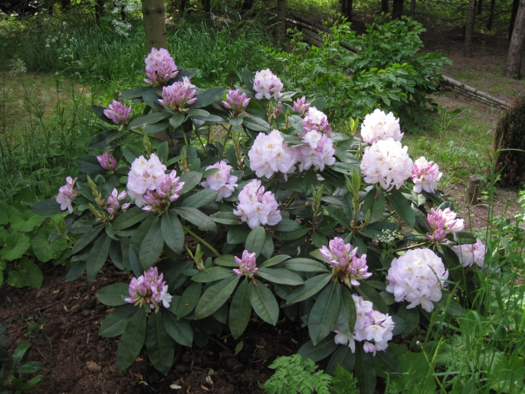 Rhododendron Gomer Waterer.
